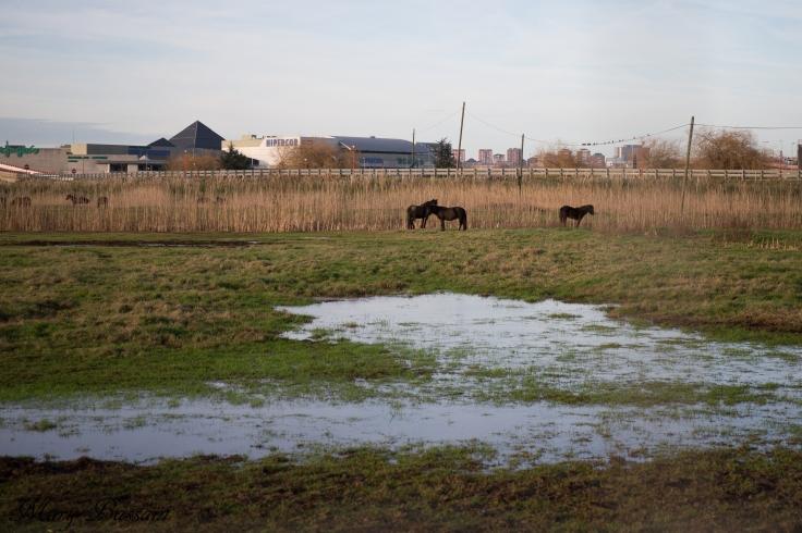 FNYH utiliza ganado autóctono, como los caballos, para controlar la vegetación invasora.
