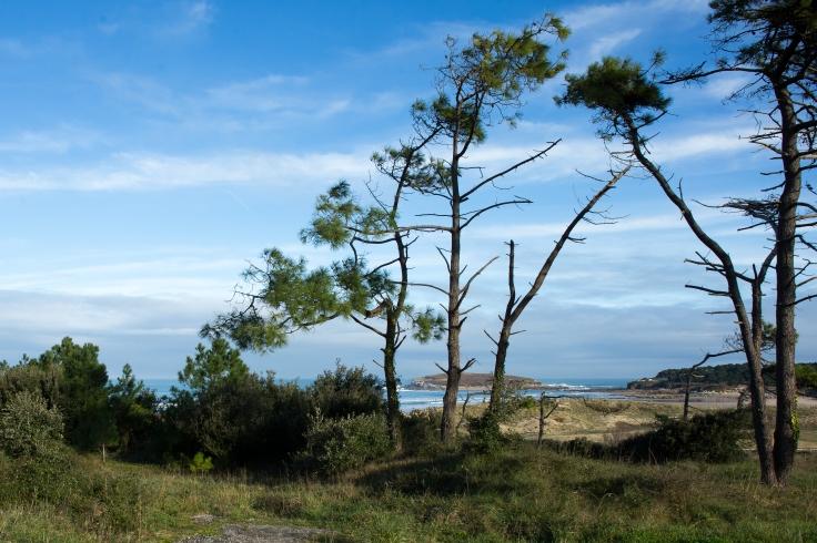 El bosque de somo, formado por pinos, eucaliptos y encinas, se asienta sobre una duna estabilizada.