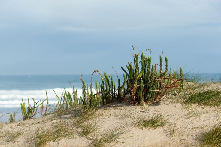 En la dunas se desarrollan una comunidad vegetal muy peculiar.