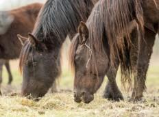 Los caballos losinos cumplen una importante función en el control de especies invasoras en Alday.